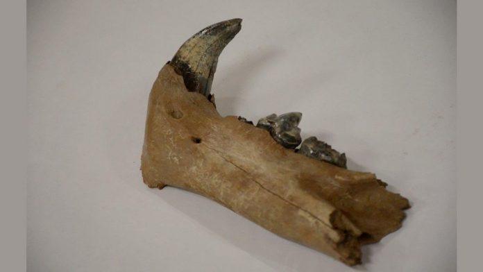 Hallan huesos de «Leon Cavernario» de la Era del Hielo en Siberia