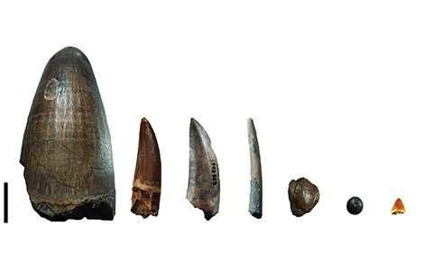 Dientes del depósito de Gadoufaoua (Níger). De izquierda a derecha: dientes de un cocodrilo gigante, Sarcosuchus imperator, un espinosáurido, un terópodo no espinosáurido (abelisáurido o carcharodontosáurido), un pterosaurio, un hadrosáurido (un dinosaurio herbívoro), un picnodonte (pez) y un pequeño cocodrilomorfo
