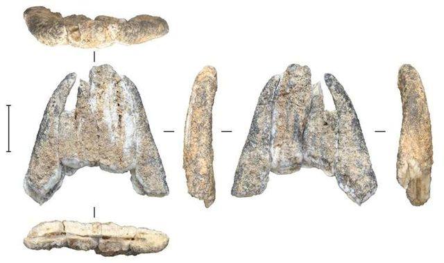 Fragmento de diente fósil de un elefante extinto, excavado de Leang Burung 2.