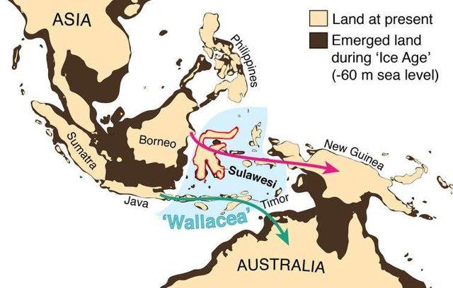 Cómo se veía nuestra región durante la Edad de Hielo. Los niveles del mar más bajos cubrían la barrera oceánica que ahora separa a Australia de Nueva Guinea y unía a numerosas islas en el sudeste asiático entre sí y con el continente adyacente, a excepción de las islas de Wallacea, que siempre han permanecido separadas. Las flechas muestran cómo los antepasados de los aborígenes pudieron haber llegado a Australia hace 65,000 años