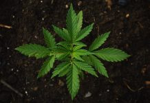 Europa estaba llena de marihuana silvestre, pero desapareció antes de llegada de agricultores