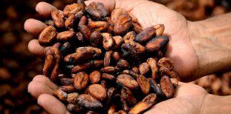 Antiguos mayas usaron cacao como dinero