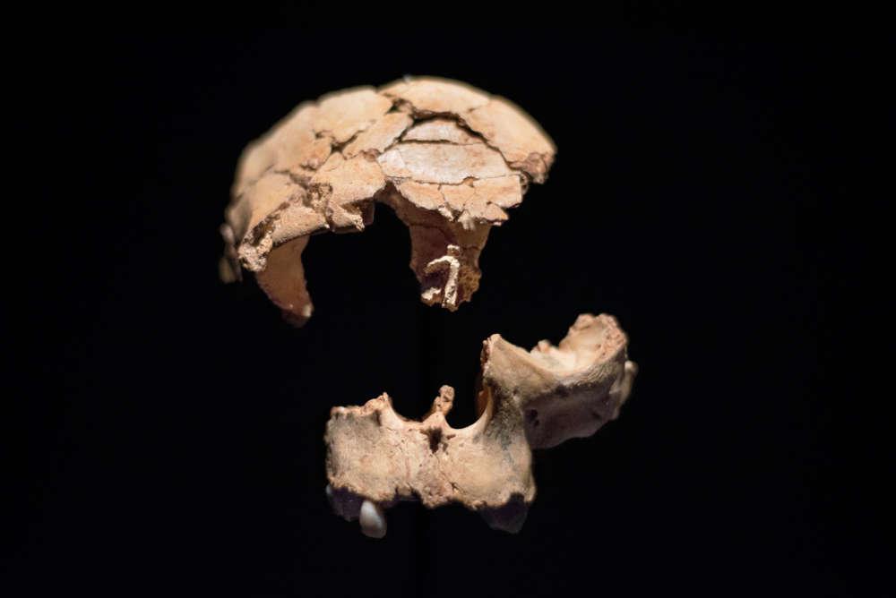 Este es el cráneo parcial del Homo antecessor que se cree que posee 850.000 años de antigüedad