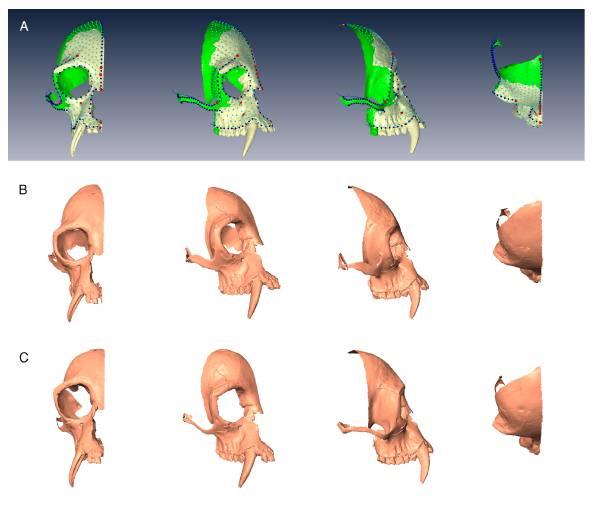 Reconstrucción del cráneo del Junzi Imperialis