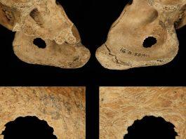 Los neandertales fueron cazadores mucho más sofisticados de lo que creíamos