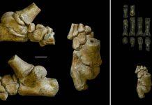 Este pie de un antiguo niño indica que los humanos primitivos caminaron como nosotros y treparon como simios