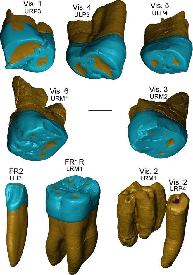 Representación virtual de los dientes de los sitios italianos de Visogliano y Fontana Ranuccio
