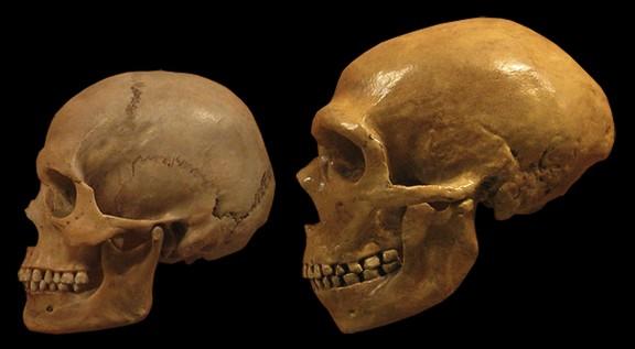 Comparación de cráneos modernos humanos y neandertales del Museo de Historia Natural de Cleveland