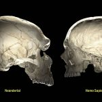 Sus genes neandertales podrían afectar la forma de su cerebro