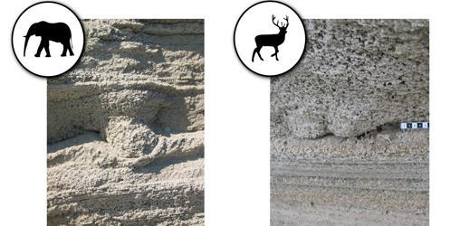 Huellas de cabra y leopardo