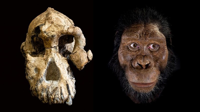 Ancestra humana «Lucy» era menos inteligente que un simio, afirma estudio
